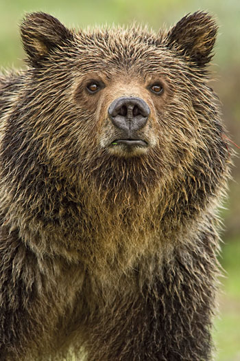 """Eyes of the Grizzly"" by Thomas D. Mangelsen. Photograph at Images of Nature Gallery"