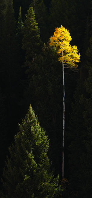 Lone Yellow Aspen by Willie Holdman. Photograph at Willie Holdman Utah Photographs Gallery